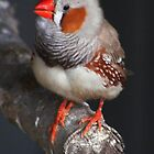 Zebra Finch. by Esther's Art and Photography