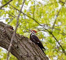 Pileated Wood Pecker by John Absher