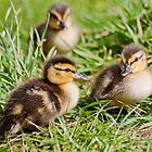 Mallard Ducklings by Margaret S Sweeny