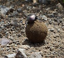 Dung Beetle by Anita Deppe