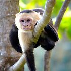 Costa Rica Monkey by Mc240