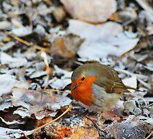 Robin looking for food by jamesnortondslr