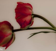 Two tulips in a mason jar  by KSKphotography