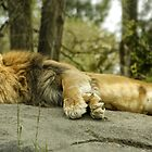 Lazy Lion by Alexander Garcia