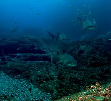 Pete with North Rock Grey Nurse Sharks by Matt-Dowse