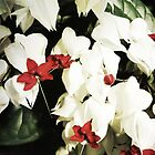 red and white by aandm-photo