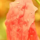 Droplets on a red flower by jamesnortondslr