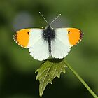 Male Orange Tip butterfly by Rivendell7