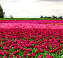 Tulip Fields by Tracy Friesen