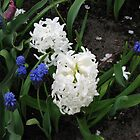 Hyacinths Great and Small - Keukenhof Gardens by MidnightMelody