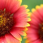 Indian Blanket by Jeff Johannsen