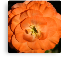 Orange Tuberous Begonia Canvas Print