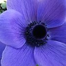 Bright anemone blue by Julie Van Tosh Photography