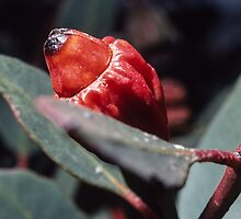 Red gum bud Port Augusta South Australia 1982 09080025  by Fred Mitchell