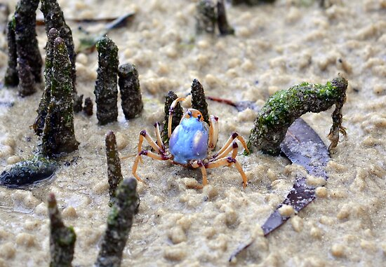 Soldier Crab by ChrisButler