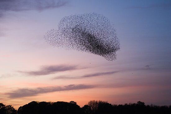 Bird Cloud - Starlings Preparing To Roost by Nigel Tinlin