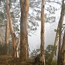 Karri Trees in the Early Morning Mist by pennyswork