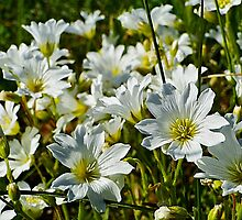 Field Chickweed - Cerastium arvense by Digitalbcon