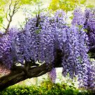 Draped Wisteria by Jessica Jenney