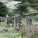Zebra in Selous game reserve by nymphalid