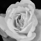 White rose by jamesnortondslr