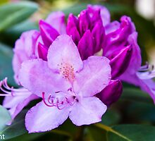 Rhododendron pink buds and blooms by KSKphotography
