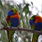 Lorikeets by Chris  Butler