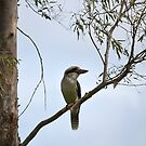 Kookaburra by Chris  Butler