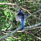 Blue Jay Bird by Cynthia48
