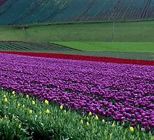 Australia, Tasmania, Purple Tulips by photoj