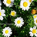 Daisy Daisy - Hunter Valley, NSW by CandiceRose
