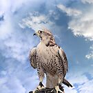 falcon perched on leather gloved hand by morrbyte