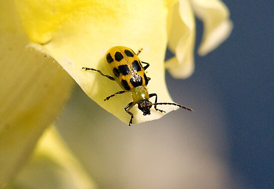 Bug on a Flower (Spotted Cucumber Beetle) by imagetj