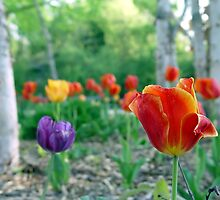 Tulip Garden by Carolyn  Fletcher