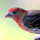 House Finch by freevette