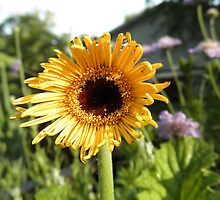 Gerber Daisy Flower by ack1128