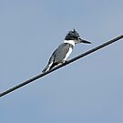 Belted Kingfisher by kathy s gillentine