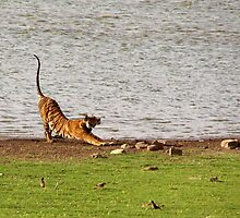 Tiger Stretching Ranthambore by SerenaB