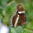 Butterfly by TheaShutterbug