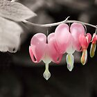 My Bleeding Heart by KBritt