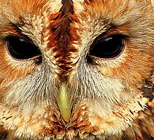 Tawny Owl by Stan Owen