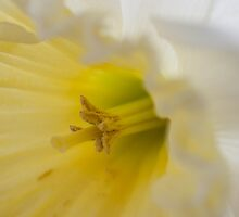 Daffodil white with yellow center.  by KSKphotography