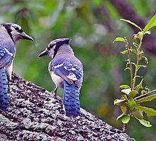 Blue Jays by venny