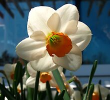 Narcissus in the shade by MarianBendeth