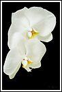 White Orchid by KBritt