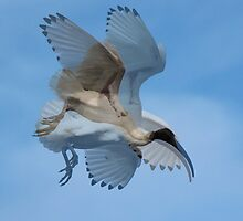 Collage of Sacred Ibis in Flight by alycanon