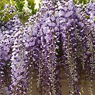 The stunning wisteria display. by Sarah Dawson-Spackman