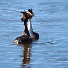 Great crested grebes in love - Finland by Susanna Hietanen