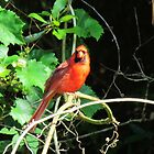 Posing Red Bird by Cynthia48