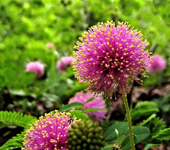 Sensitive Briar - A Texas Wildflower by aprilann
